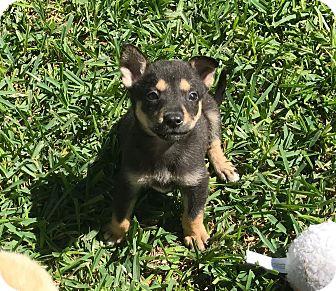 Labrador Retriever Mix Puppy for adoption in Redmond, Washington - Frida