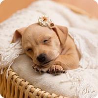 Adopt A Pet :: Deja - Tumwater, WA