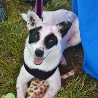 Border Collie Mix Dog for adoption in troutman, North Carolina - BANDIT (PO)