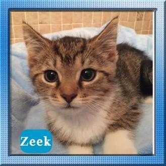Domestic Shorthair/Domestic Shorthair Mix Cat for adoption in Bradenton, Florida - Zeek
