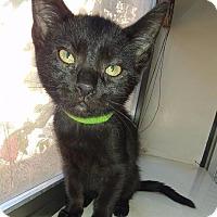 Domestic Shorthair Kitten for adoption in Corinne, Utah - Duncan