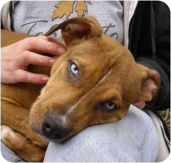 American Pit Bull Terrier Mix Puppy for adoption in Bay City, Michigan - Ace~~adopted 2/2012~~