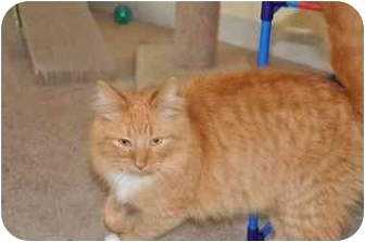 Domestic Longhair Cat for adoption in Youngwood, Pennsylvania - Elliot
