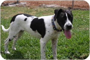 Boxer/Collie Mix Puppy for adoption in Conroe, Texas - Gypsy