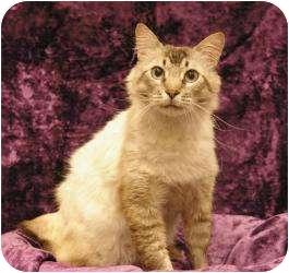Siamese Cat for adoption in Sacramento, California - Sebastian