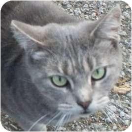 Domestic Shorthair Cat for adoption in Warren, Ohio - Jackie- Pending