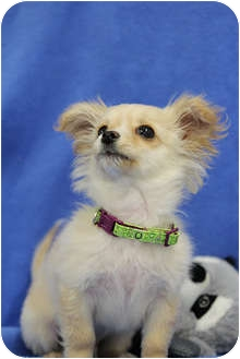 Pomeranian/Chihuahua Mix Puppy for adoption in Broomfield, Colorado - TOAST
