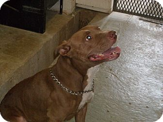 American Staffordshire Terrier Dog for adoption in Windsor, Missouri - Aubree