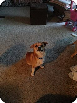 Corgi/Pug Mix Dog for adoption in Puyallup, Washington - Logger