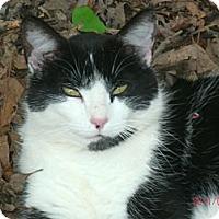 Adopt A Pet :: Socks - Easley, SC