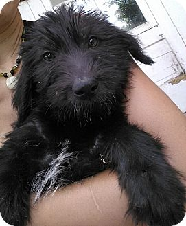 Labradoodle/Hound (Unknown Type) Mix Puppy for adoption in Kalamazoo, Michigan - Usher - Jen