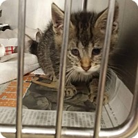 Adopt A Pet :: WHISKERS - Huntington Station, NY
