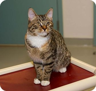 Domestic Shorthair Cat for adoption in Medfield, Massachusetts - Roxie