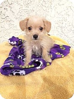 Yorkie, Yorkshire Terrier Mix Puppy for adoption in San Diego, California - RALPHIE