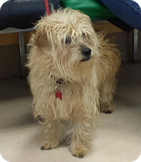 Cairn Terrier Mix Dog for adoption in Walden, New York - Jelly Bean