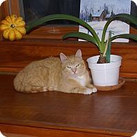 Adopt A Pet :: Marmalade - Portland, ME