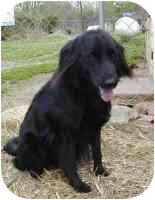 Retriever (Unknown Type)/Border Collie Mix Dog for adoption in Glen Allen, Virginia - Ringo