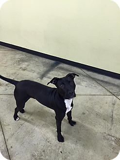Labrador Retriever/Terrier (Unknown Type, Medium) Mix Dog for adoption in SHELBY TWP, Michigan - ACE
