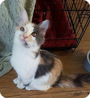 Domestic Mediumhair Cat for adoption in Dallas, Texas - Fluffy Pants
