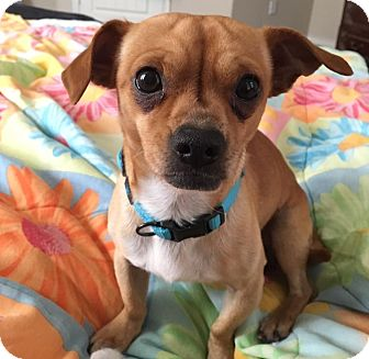 Chihuahua/Pug Mix Dog for adoption in Dallas, Texas - Thor