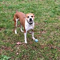 Boxer/Beagle Mix Dog for adoption in Matthews, North Carolina - Blue