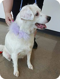 American Eskimo Dog/Border Collie Mix Dog for adoption in Rowlett, Texas - Juliet