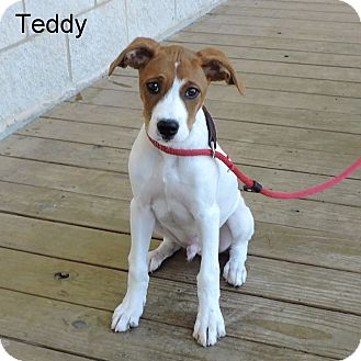 Boxer/Beagle Mix Puppy for adoption in Slidell, Louisiana - Teddy