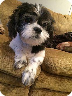 Shih Tzu Mix Dog for adoption in Clayton, California - Owen