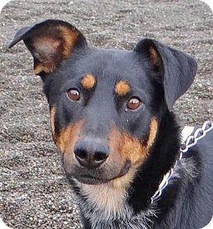 Doberman Pinscher/Shepherd (Unknown Type) Mix Dog for adoption in Spokane, Washington - Casimir