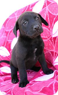 Labrador Retriever Mix Puppy for adoption in Albany, New York - Astrid