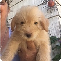Adopt A Pet :: Bowie - Thousand Oaks, CA