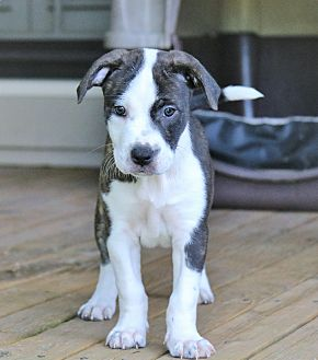 American Staffordshire Terrier/Boxer Mix Puppy for adoption in Harrisburg, Pennsylvania - SPRUCE