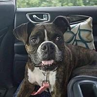 Adopt A Pet :: Zayla - Brentwood, TN