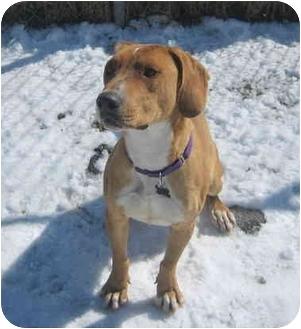 Boxer/Hound (Unknown Type) Mix Dog for adoption in Portsmouth, Rhode Island - JC