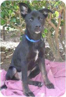 Labrador Retriever/Shepherd (Unknown Type) Mix Dog for adoption in Mobile, Alabama - Georgia