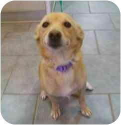 Italian Greyhound/Golden Retriever Mix Dog for adoption in Randolph, New Jersey - Ella