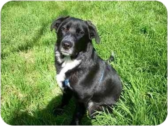 Australian Shepherd/Labrador Retriever Mix Dog for adoption in Oakhurst, California - Bear