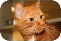 Domestic Shorthair Cat for adoption in Walker, Michigan - Copper