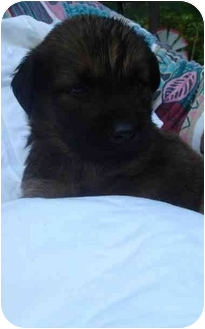 German Shepherd Dog/Golden Retriever Mix Puppy for adoption in Old Bridge, New Jersey - Montego