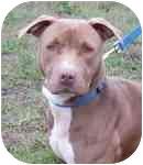 Labrador Retriever/American Pit Bull Terrier Mix Dog for adoption in Sacramento, California - Ceceil