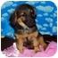 Photo 4 - Dachshund Mix Puppy for adoption in Broomfield, Colorado - Geoffrey Beene