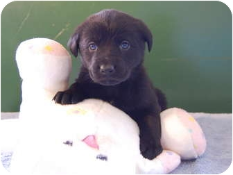 German Shepherd Dog/Anatolian Shepherd Mix Puppy for adoption in North Judson, Indiana - April