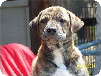 Labrador Retriever/Boxer Mix Puppy for adoption in Odessa, Florida - ODESSA