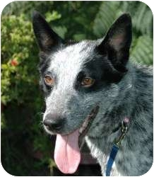 Australian Cattle Dog Dog for adoption in Tracy, California - Blue Silk