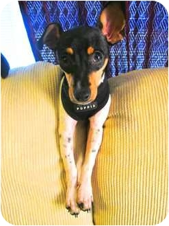Rat Terrier Mix Puppy for adoption in Jacksonville, Florida - Sadie