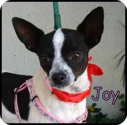 Rat Terrier/Chihuahua Mix Dog for adoption in Lomita, California - Joy
