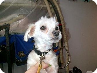 Maltese Dog for adoption in Mt Gretna, Pennsylvania - Ajax