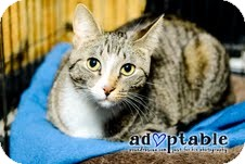 Domestic Shorthair Cat for adoption in Okotoks, Alberta - Patrick