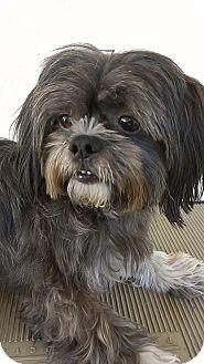 Shih Tzu Mix Dog for adoption in Thousand Oaks, California - Buddy
