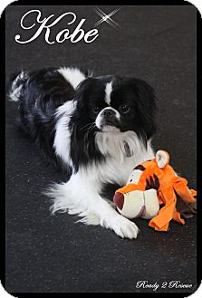 Japanese Chin Dog for adoption in Rockwall, Texas - Kobe
